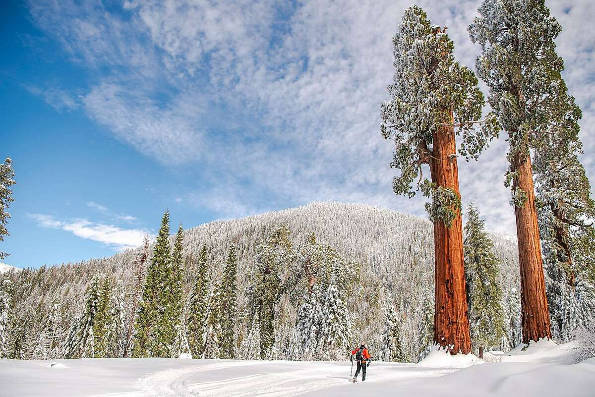 Giant sequoias, pictured at right, in the Alder Creek grove that borders Giant Sequoia National Monument. (Victoria Reeder/Save the Redwoods League/TNS)