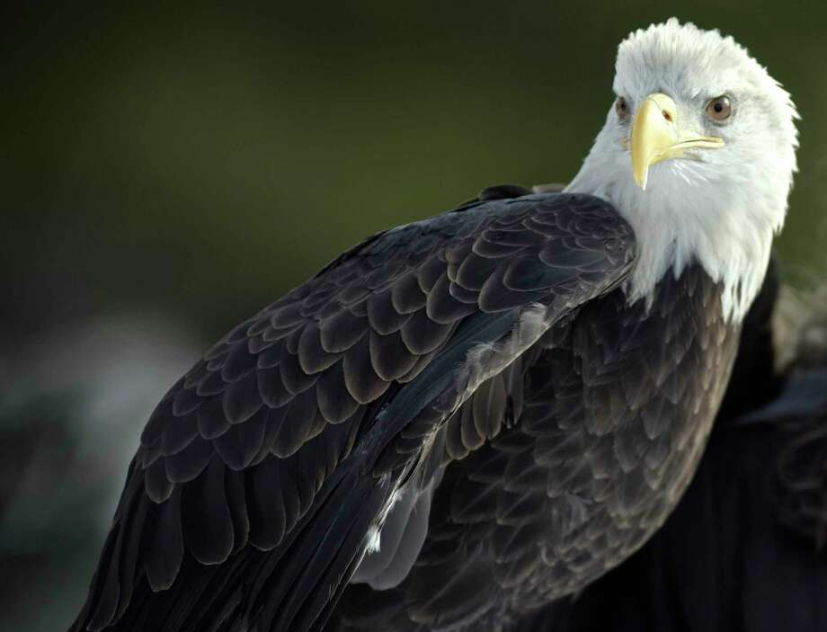 Atkar, a seven year old bald eagle from Horizon Wings, a raptor rehabilitation & education organization that was doing a presentation at the Opening Day Celebration of the Shepaug Dam Bald Eagle Observation Area on Saturday, December 16, 2017, in Southbury, Conn. Photo: H John Voorhees III / Hearst Connecticut Media / The News-Times