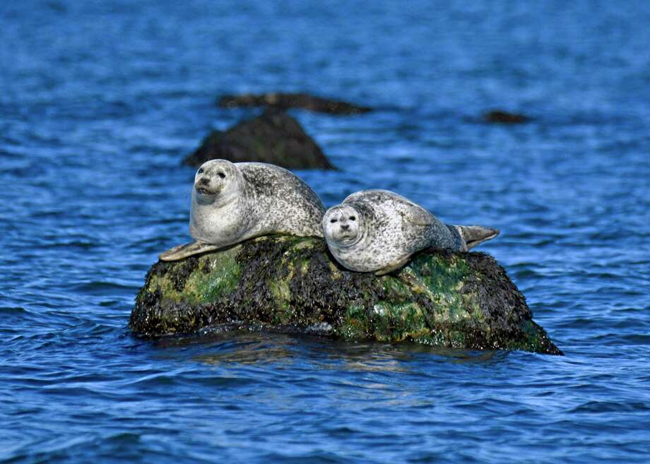 """Two harbor seals rest on a rock in Long Island Sound off of Greenwich.The Maritime Aquarium at Norwalk's """"Seal-Spotting & Birding Cruises"""" to look for these winter visitors to the Sound. Photo: Patty Doyle / Contributed Photo"""