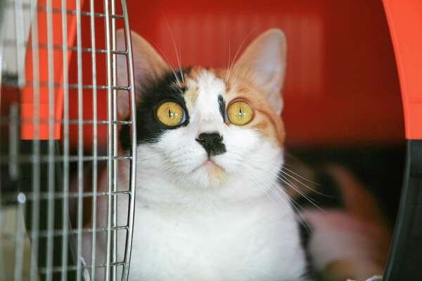If your cat hates the car travel and crates, sedating them and sending them by plane could be a kinder way to go.