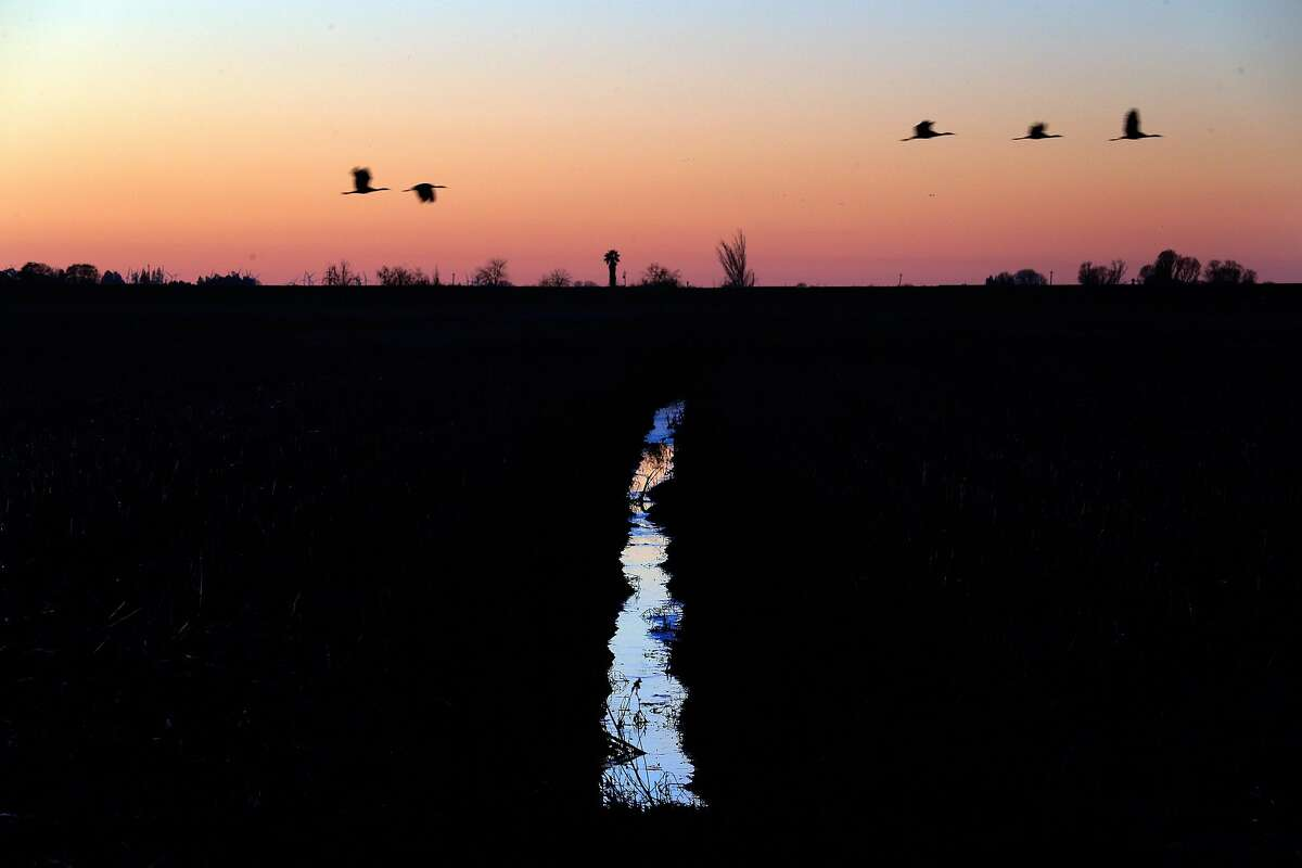 Migrating water fowl fly over an irrigation ditch on Staten Island in the Sacramento-San Joaquin Delta near Walnut Grove, Calif., on Monday, January 6, 2020. A fight over the management of the island is shining a light on a growing conundrum for California water managers, farmers and environmentalists over the best way to restore natural habitat on cropland created more than a century ago by draining marshes. The suit, filed in 2018 by a group called the Wetlands Preservation Foundation, accuses the California Department of Water Resources and the Nature Conservancy of failing to adequately protect wildlife or employ sustainable agricultural practices on the island. The suit accuses the Nature Conservancy of growing corn on the island, which worsens subsidence. In some places the island is 15 feet below sea level, according to the suit.