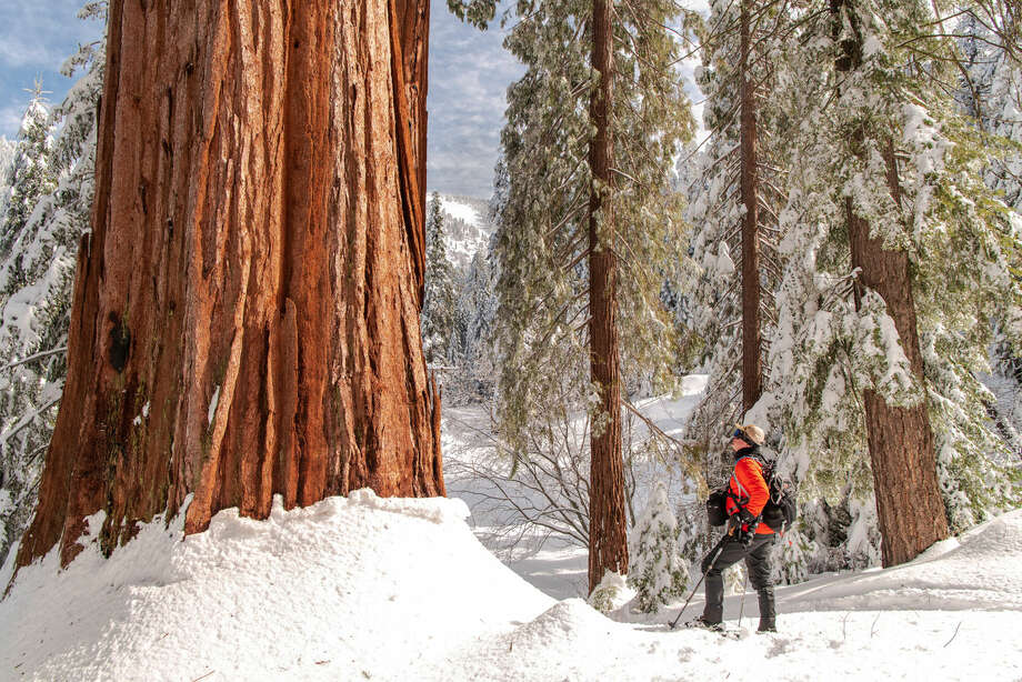 Save the Redwoods League raised $15.65 million from donors around the world to purchase Alder Creek, a grove in the Sequoia National Forest that is home to hundreds of the ancient trees. Photo: Victoria Reeder, Save The Redwoods League