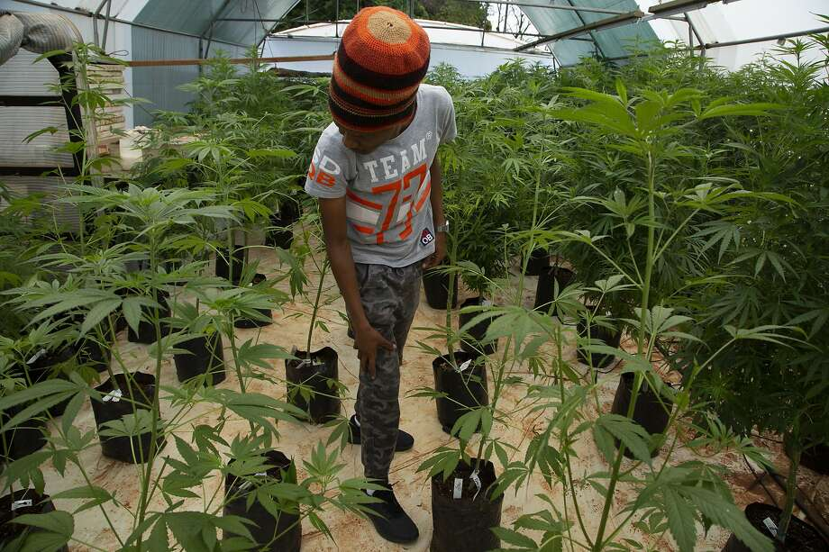 Itumeleng Tau stands among his cannabis plants in a hothouse in Krugersdorp. He is working to train other small-scale farmers to meet standards required to obtain medicinal permits. Photo: Denis Farrell / Associated Press 2019