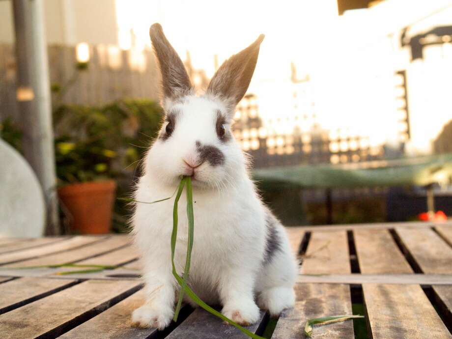 """Pet Supplies Plus partnered up with Alamo City House Rabbits for its """"Bunny Adoption"""" event that is happening from noon to 4 p.m. this Saturday at 3133 Nacogdoches Road. Photo: Danielle Kiemel/Getty Images"""
