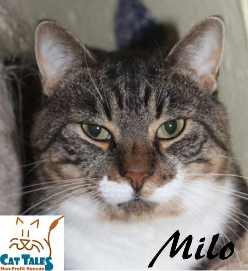 """Milo is a 2-year-old brown tabby. He has lived outside most of his life, and is enjoying the idea of being safe and cared for. He loves being scrached, petted and rubbed, and is getting used to being held. He is FIV+, meaning his immune system has to work a little harder, but he's not contagious to humans. He is not fond of dogs. """"I would have to get into a really big cat fight to exchange blood but I am a lover, not a fighter,"""" Milo says. """"I would love a screened in porch to catch the rays and some ZZZ'?s. I hope you are my patient person who is willing to just love me."""" Learn more at http://www.CatTalesCT.org/cats/Milo-2/, call 860-344-9043 or email info@CatTalesCT.org. Watch their TV commercial at https://youtu.be/Y1MECIS4mIc? Photo: Contributed Photo/Cat Tales"""