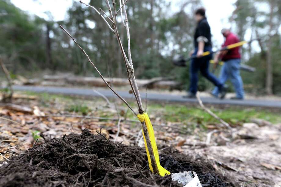 Volunteers plant a variety of 400 bare root seedling trees and 40 larger trees along at Harris County Precinct 4's 100 Acre Wood Preserve. Photo: Gary Coronado, Staff / Houston Chronicle / © 2015 Houston Chronicle