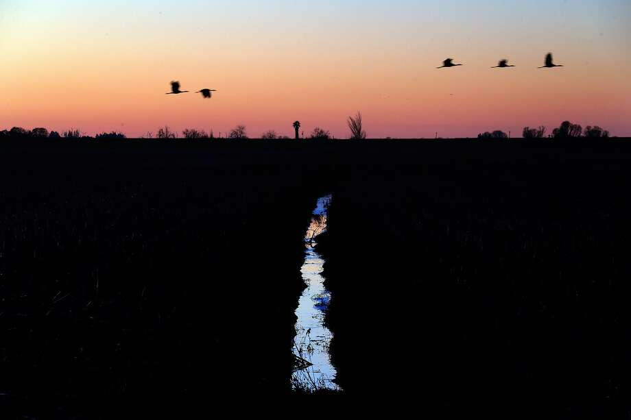 Migrating water fowl fly over an irrigation ditch on Staten Island in the Sacramento-San Joaquin Delta near Walnut Grove, Calif., on Monday, January 6, 2020. A fight over the management of the island is shining a light on a growing conundrum for California water managers, farmers and environmentalists over the best way to restore natural habitat on cropland created more than a century ago by draining marshes. The suit, filed in 2018 by a group called the Wetlands Preservation Foundation, accuses the California Department of Water Resources and the Nature Conservancy of failing to adequately protect wildlife or employ sustainable agricultural practices on the island. The suit accuses the Nature Conservancy of growing corn on the island, which worsens subsidence. In some places the island is 15 feet below sea level, according to the suit. Photo: Carlos Avila Gonzalez / The Chronicle