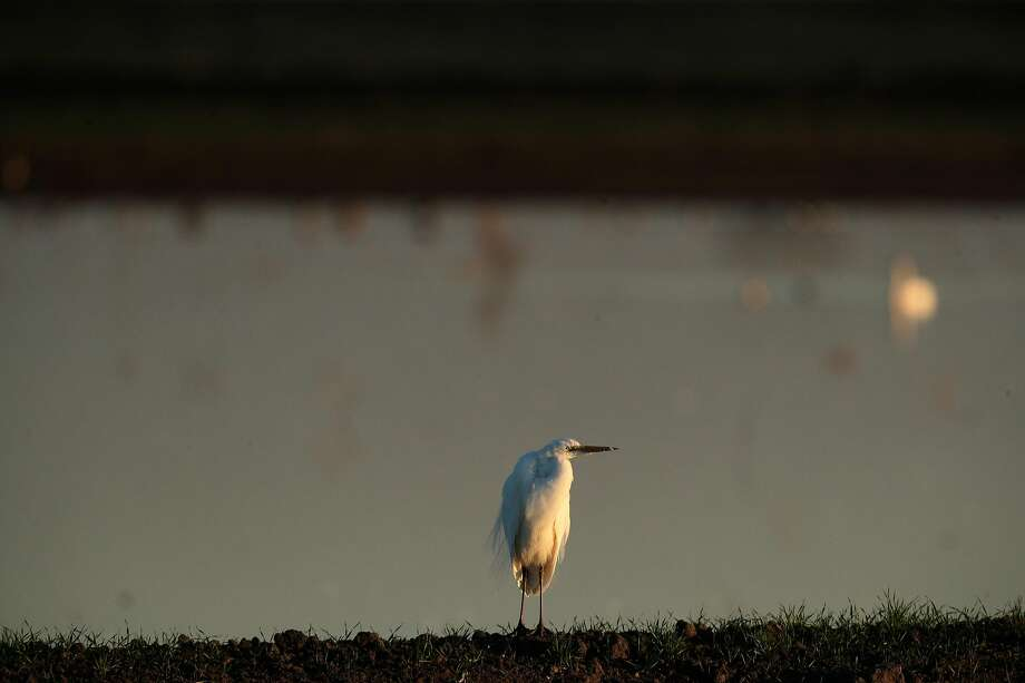 A snowy egret stands on the edge of a flooded field on Staten Island. Photo: Carlos Avila Gonzalez / The Chronicle