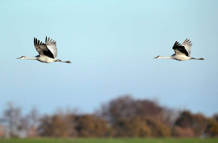Sandhill cranes fly over flooded agricultural land on Staten Island. Photo: Carlos Avila Gonzalez / The Chronicle