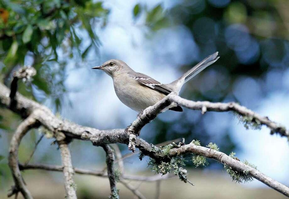 A Northern Mocking Bird sits on a branch. Photo: Sean Gardner / Associated Press / 2010 AP