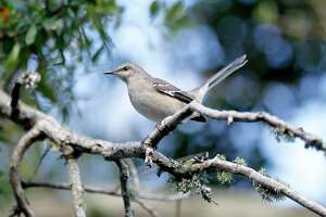 A Northern Mocking Bird sits on a branch.