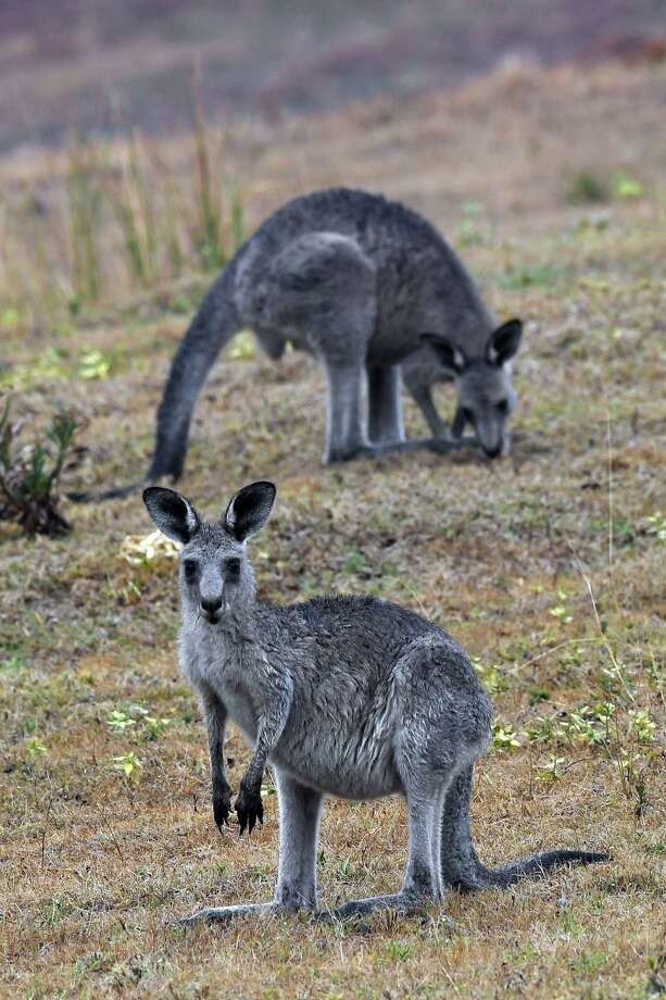 Kangaroos move close to a residential area from bushland in Australia's New South Wales this month as massive bushfires continue to burn.  As wildlife suffers because of climate change and human activity, one reader calls for action. Photo: SAEED KHAN /AFP Via Getty Images / AFP or licensors