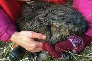 Katka Hannelová holds a young beaver after her husband Roger Johnson freed it from a steel trap. The couple was hiking near a pond on property near Haystack Mountain State Park.
