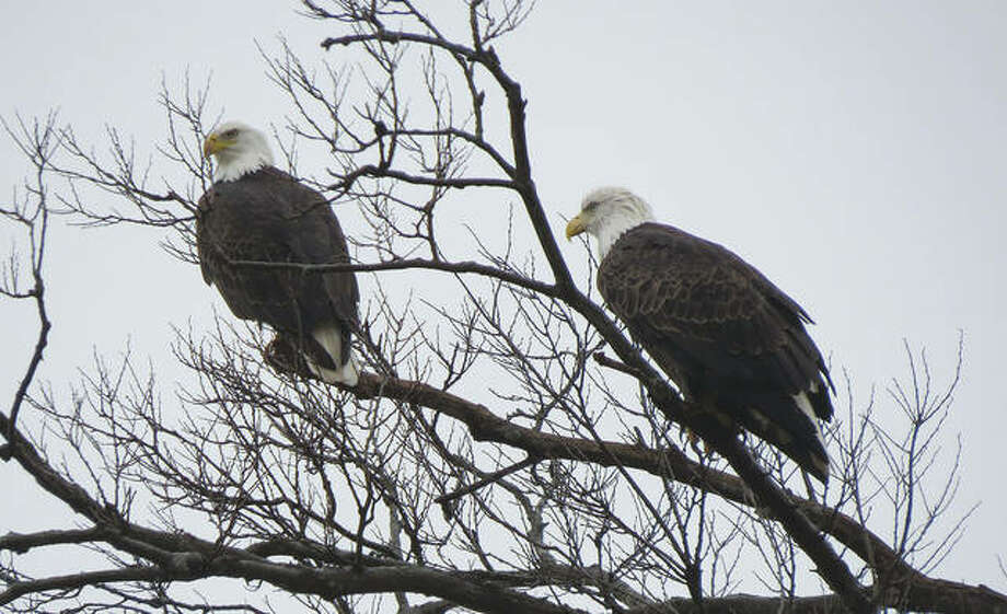 Two bald eagles share branches of a tree Friday near Loami. This is the time of year an estimated 3,000 bald eagles migrate to Illinois. Several eagle-watching activities are taking place in the region, including daily programs between 8:30 a.m. and 2 p.m. through March 6 at Pere Marquette State Park in Grafton.
