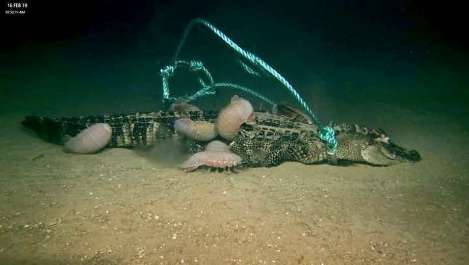 Scientists discovered how hungry deep-sea creatures can be when offered a free alligator meal. Photo: Lumcon