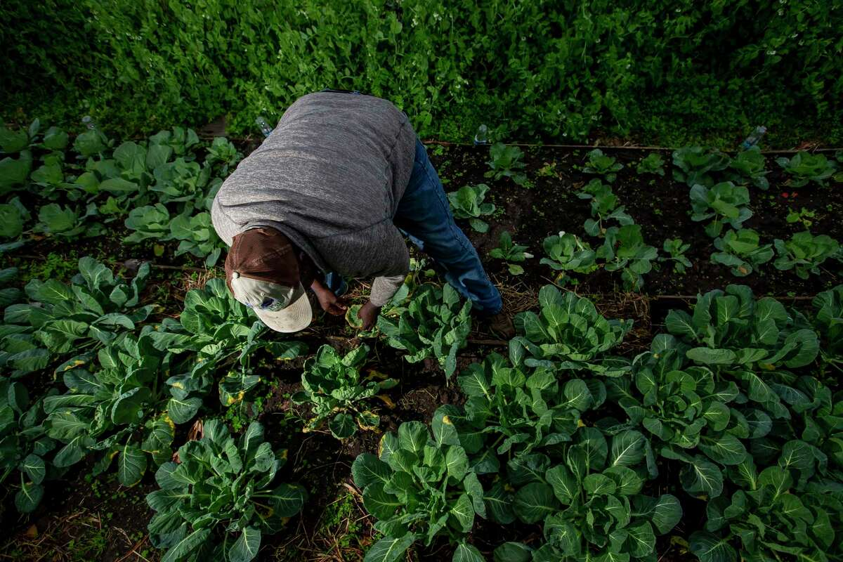 Toto Alimasi trims dead leaves from his Brussels sprouts patch in his organic vegetable farm in Westbury. Alimasi and his wife, Fatuma, came to Houston as refugees from Congo. They farm everything from beets to sugar cane to corn on their Plant It Forward farm in southwest Houston.