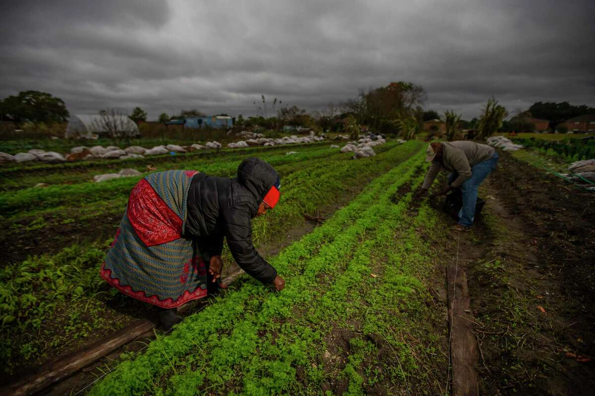 Toto and Fatuma Alimasi pull weeds from their crop of beets on their organic vegetable farm in Westbury. The Alimasis came to Houston as refugees from Congo. They farm everything from beets to sugar cane to corn on their Plant It Forward farm in southwest Houston.