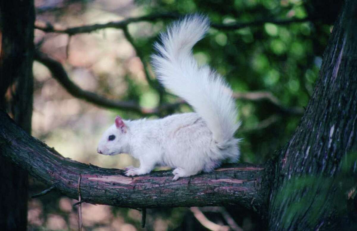 A white squirrel that's been in the area of Ridge Road and Parkway Drive of Stratford since last year.