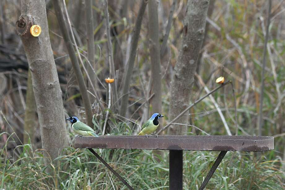 Green jays perch atop a feeder in Zapata County's bird sanctuary. The area is at risk of a border wall running through it as the Trump administration fast tracks this project in Webb and Zapata counties. Photo: Cuate Santos /Laredo Morning Times