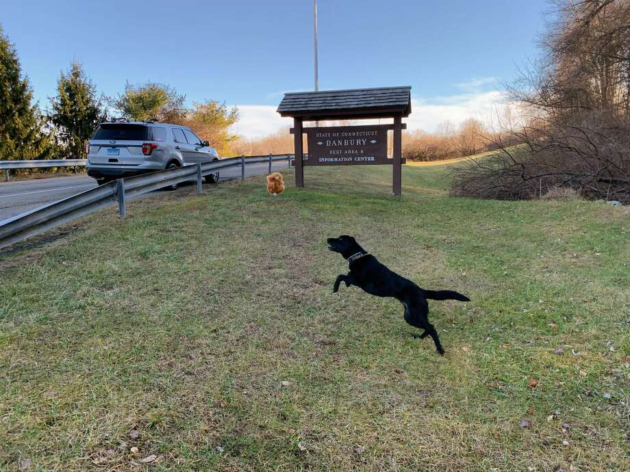 K9 Favor, a narcotics detection dog from Connecticut State Police's Troop A barracks, enjoys some outdoor play time at Danbury's rest area off eastbound I-84 over the weekend. Photo: Contributed