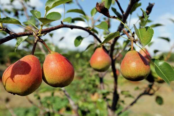 Gardening: Growing figs, apples, pears and plums in your San Antonio backyard; what you need to know