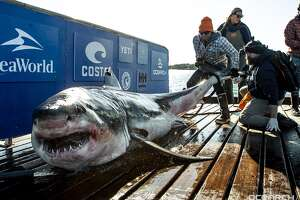 Ironbound White Shark - Male - 12 ft 4 in. 998 lbs.