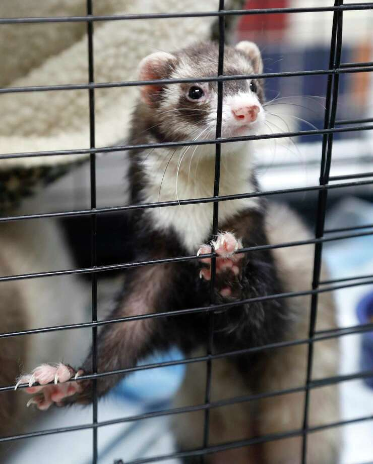 A 7-month-old female ferret that was available for adoption from the Houston Humane Society in 2018. Photo: Karen Warren, Houston Chronicle / Staff Photographer / © 2018 Houston Chronicle