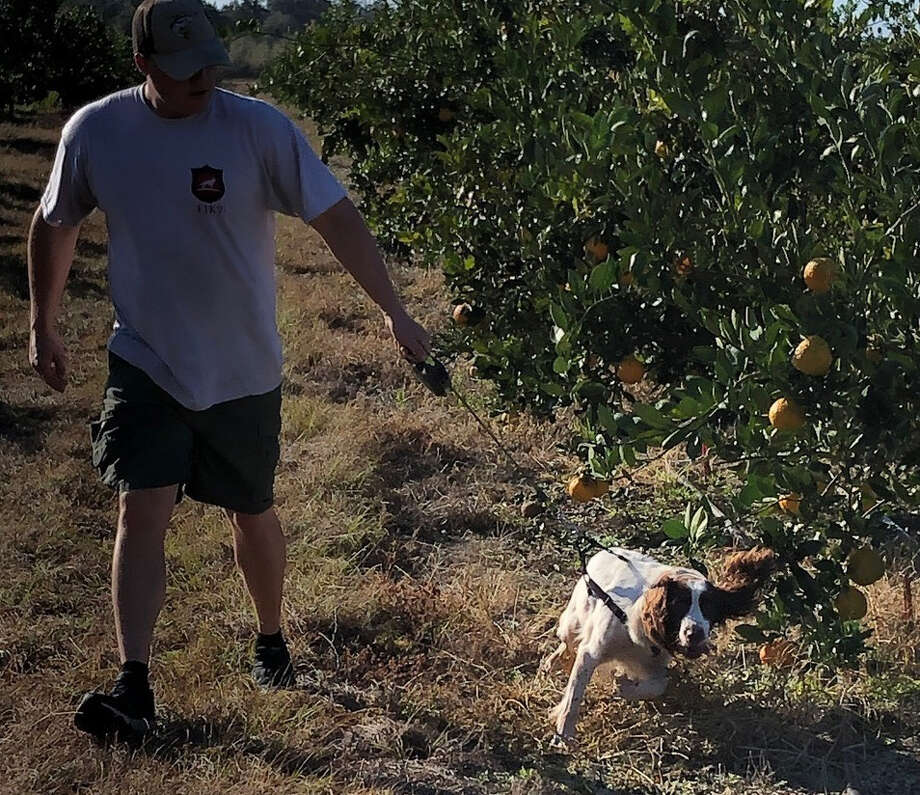 Bello, a springer spaniel, uses her nose in a quest to detect disease in a citrus grove in Perry, Fla. With her is handler Tyler Meck. Photo: Duncan Strauss. / Duncan Strauss