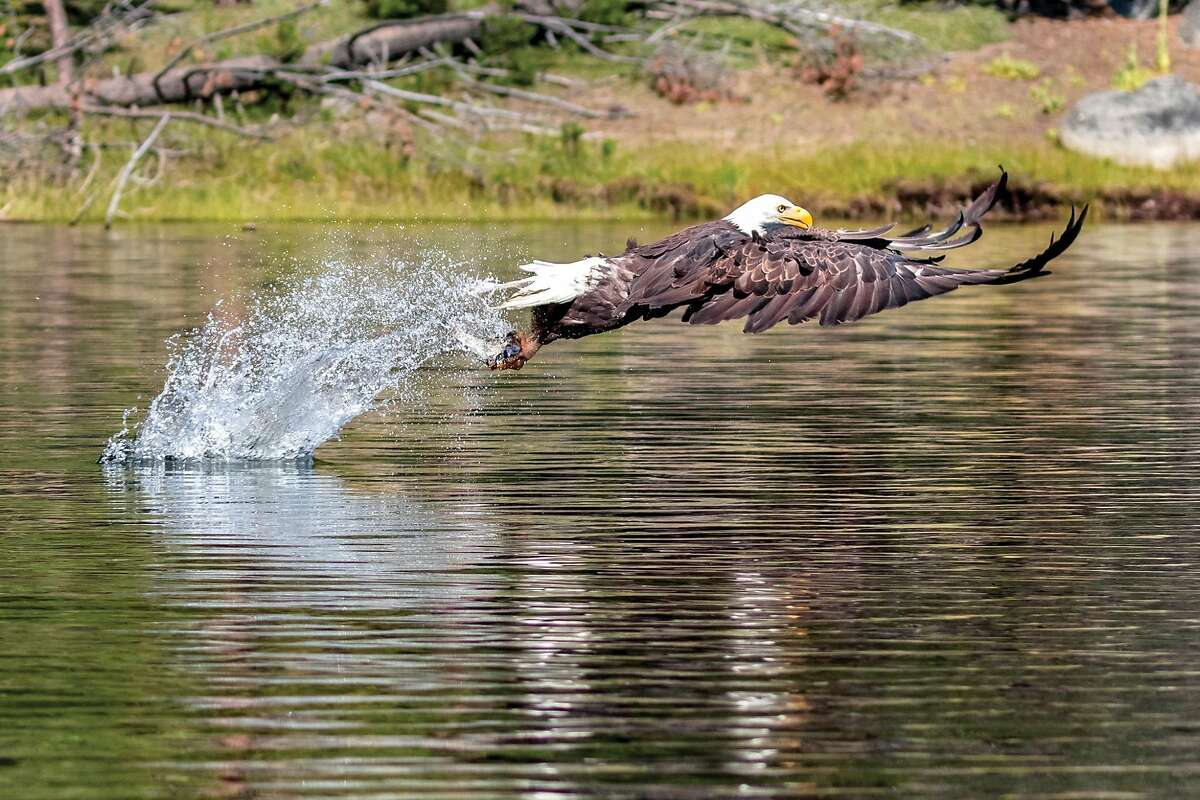 Randy Robbins captured this photo of a bald eagle snatching a trout out of Antelope Lake to win CDFW Photo of the year