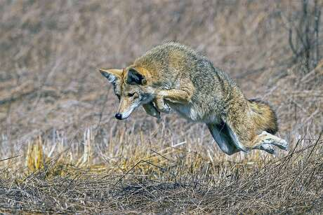 Ed Donnelly captured a coyote in mid-pounce in an image take at Point Reyes National Seashore to become a finalist for CDFW Photo of the Year