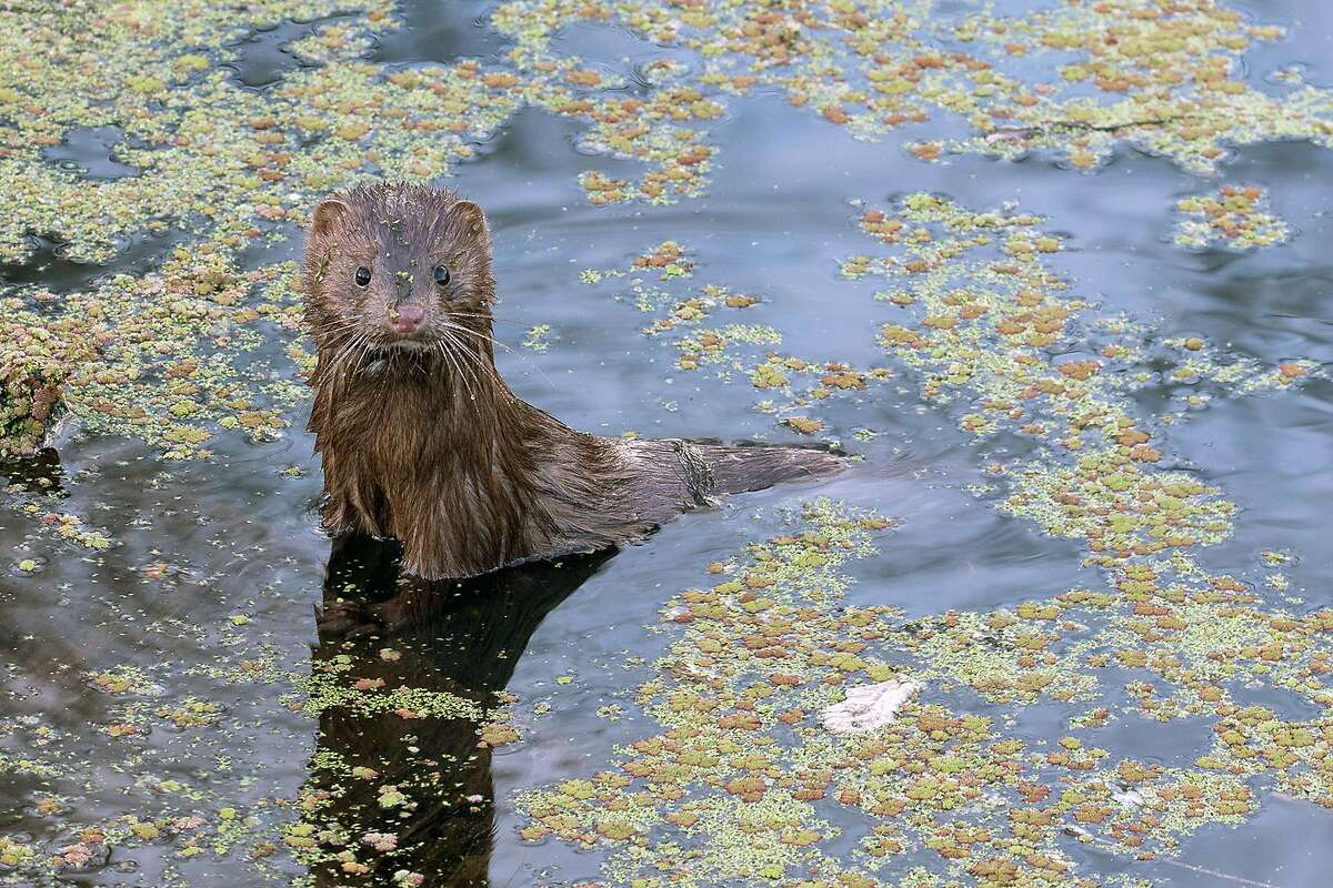 A photo of a mink at Spring Lake near Santa Rosa by Steve Pearce was a finalist for CDFW photo of the year