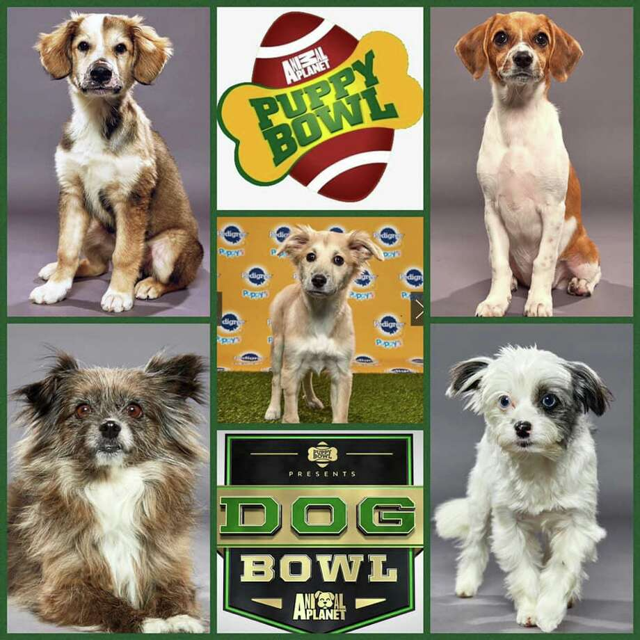 Danbury Animal Welfare Society will have five dogs playing in Animal Planet's Dog and Puppy Bowls on Super Bowl weekend. Photo: Contributed Photo / DAWS Facebook Page