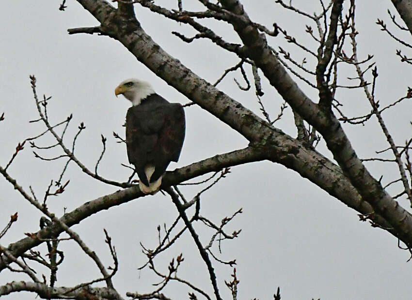 A bald eagle is seen in a tree along Rt. 155 on Tuesday, Jan. 14, 2020 in Colonie, N.Y. (Lori Van Buren/Times Union)