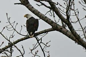 A bald eagle is seen in a tree along Rt. 155 on Tuesday, Jan. 14, 2020 in Colonie, N.Y. (Lori Van Buren/Times Union)
