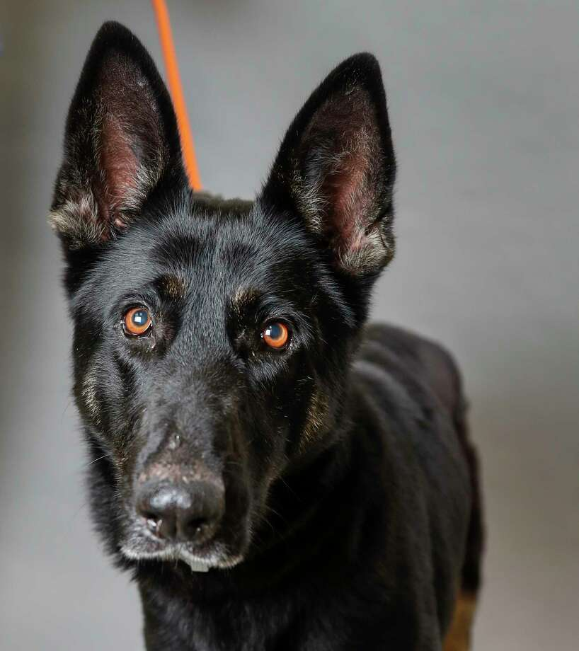 Stella Rose (37326715) is a 5-year-old, female, black German Shepherd mix available for adoption from the Houston Humane Society. Photographed, Tuesday, Jan. 14, 2020, in Houston.  Stella Rose was surrendered to the shelter by her owner three years ago.  She was adopted to another family, but returned to the shelter. She was adopted out again in January 2018, but was tied up and abandoned on the doorsteps of the HHS last week. Photo: Karen Warren, Staff Photographer / © 2020 Houston Chronicle