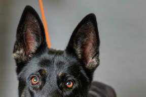 Stella Rose (37326715) is a 5-year-old, female, black German Shepherd mix available for adoption from the Houston Humane Society. Photographed, Tuesday, Jan. 14, 2020, in Houston. Stella Rose was surrendered to the shelter by her owner three years ago. She was adopted to another family, but returned to the shelter. She was adopted out again in January 2018, but was tied up and abandoned on the doorsteps of the HHS last week.