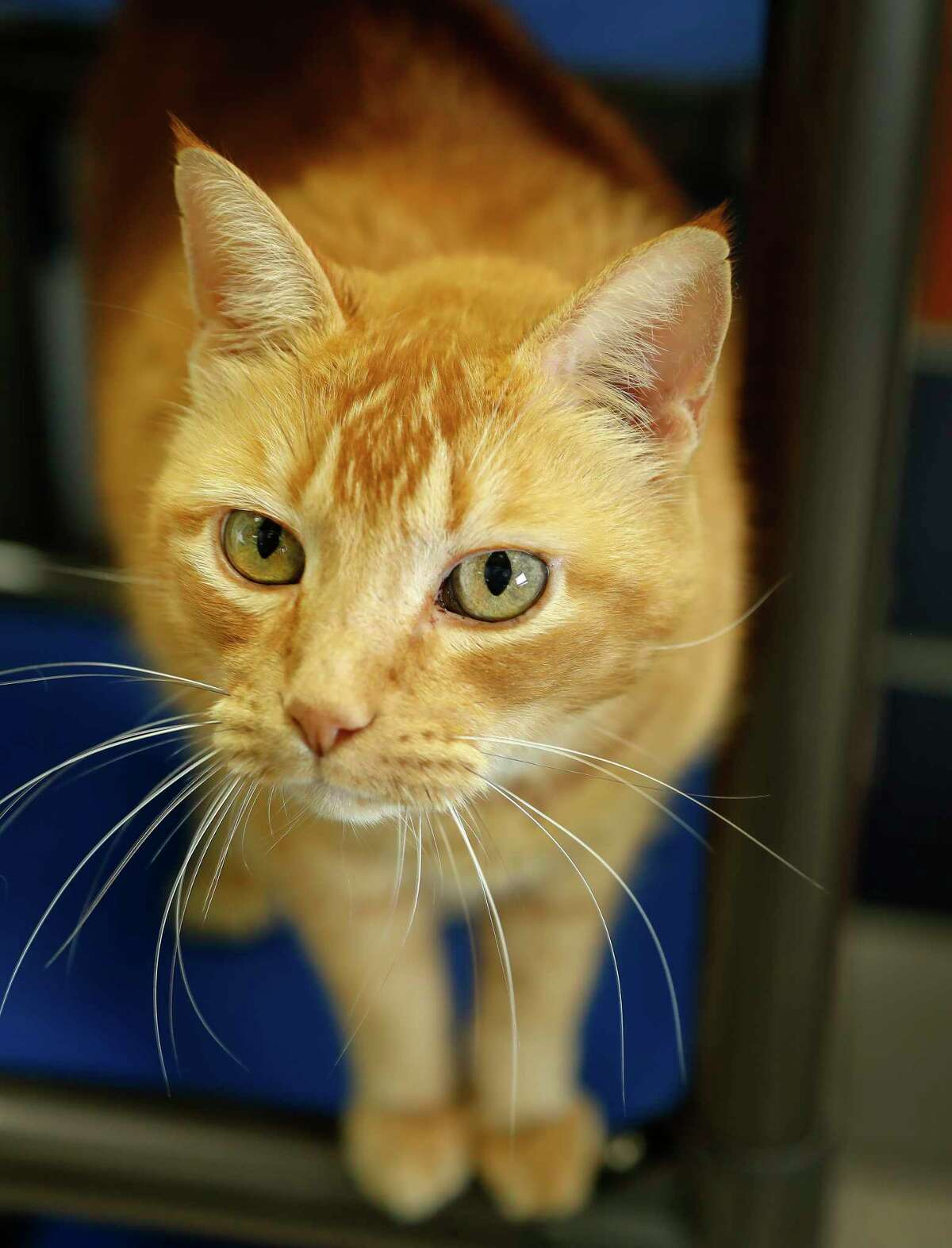 Lion (04717992) is a 11-year-old, male, Orange Tabby Domestic Shorthair cat available for adoption from the Houston Humane Society. Photographed, Tuesday, Jan. 14, 2020, in Houston. Lion was adopted from the HHS 11 years ago as a tiny kitten. He was recently returned to the shelter because a member of his human family developed allergies. He is a solidly sweet boy who loves human interaction. He purrs loudly and would like to find a suitable home to live out his senior years.