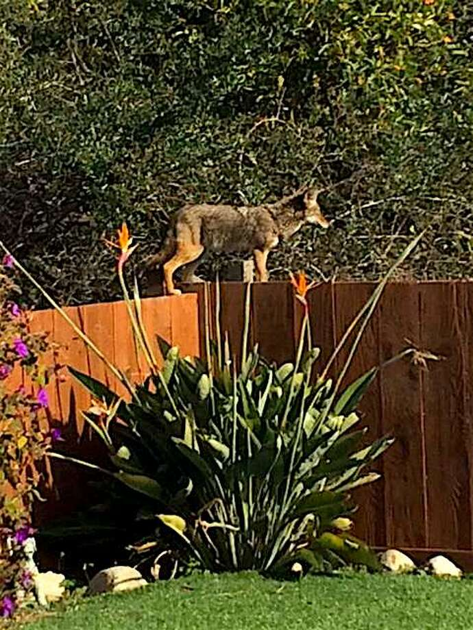 An undated file photo of a coyote on a backyard fence of a home in Millbrae, Calif., on the Peninsula in San Mateo County was captured in a photograph as it apparently hunted for house cats and small dogs. Photo: Contributed Photo / Tom Stienstra