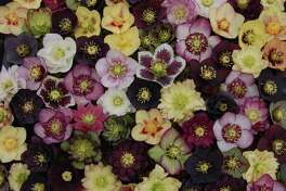 Ernie and Marietta O'Byrne have spent almost 30 years perfecting Lenten rose hybrids at Northwest Garden Nusery in Eugene, Ore.