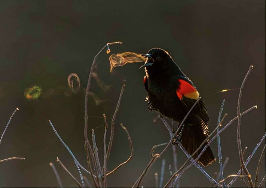 Pictured is a Red-winged Blackbird. The National Audubon Society and Nature's Best Photography is taking submissions for the 2020 Audubon Photography Awards Contest through April 6. (Courtesy Photo/Kathrin Swoboda/Audubon Photography Awards)