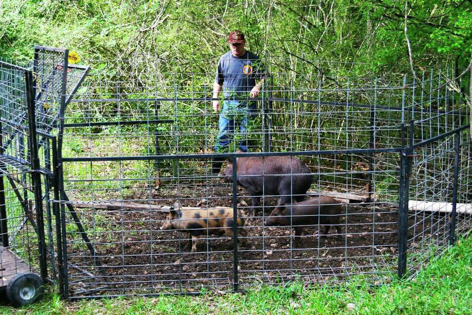 Cody Grimes, a staff member in Montgomery County Precinct 3 Commission James Noack's office, said the pilot program — approved on Jan. 17 — has led to the capture of a total of 43 feral hogs, 16 of which were boars and 27 were sows. Of the 27 sows, 24 were reportedly pregnant, he added. Photo: Shannon Tompkins / Houston Chronicle