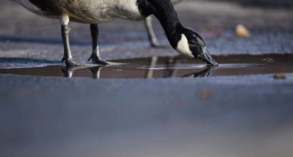A goose drinks out of a puddle in the parking lot at the Corning Preserve on Thursday, Jan. 16, 2020, in Albany, N.Y. (Paul Buckowski/Times Union)