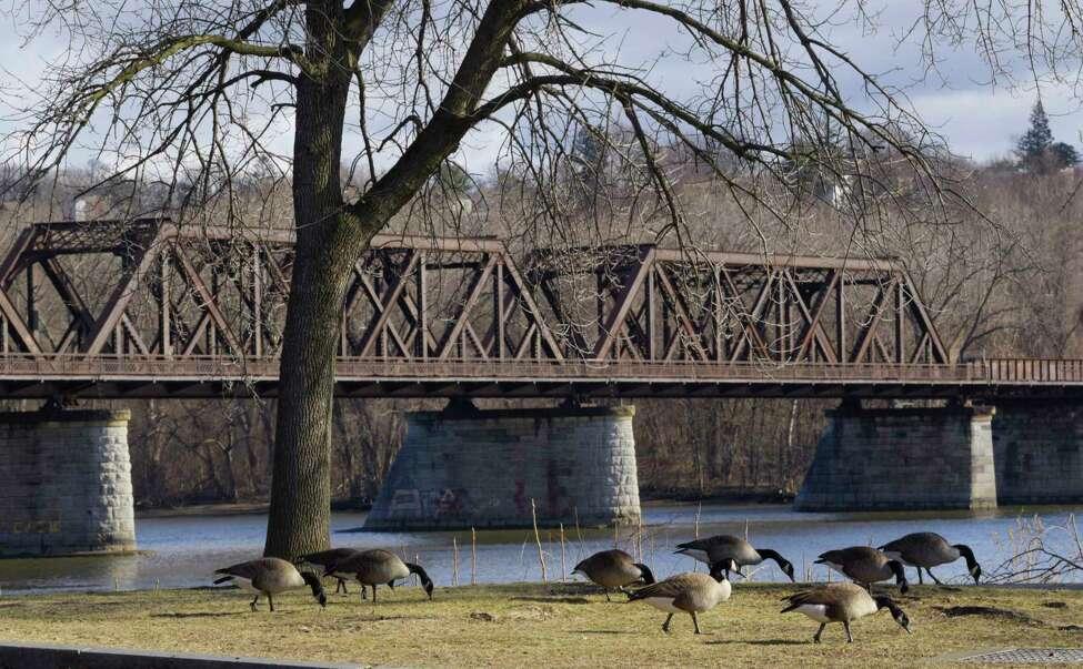 Geese feed on the grass at the Corning Preserve on Thursday, Jan. 16, 2020, in Albany, N.Y. (Paul Buckowski/Times Union)