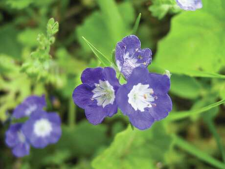 Sand phacelia is a common annual throughout the South Texas Sand Sheet that blooms int he early spring.