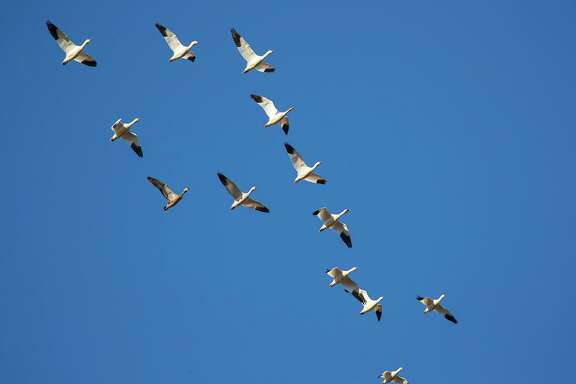 Flocks of snow geese have arrived on the Texas Coast to winter in fallow fields and marshlands. Photo Credit: Kathy Adams Clark Restricted use.