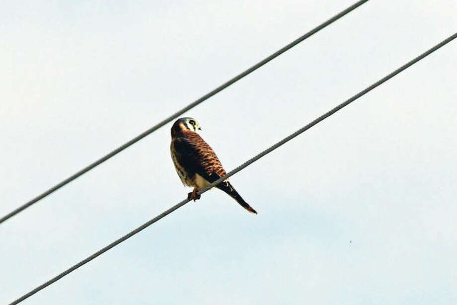 A kestrel, a relative of the falcon, watches for prey from a phone line near Waverly.