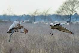 The sandhill crane is among birds who winter at the Katy Prairie Conservancy as they flee cooler climates for the season.