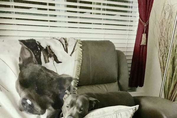 Here is Eric Cohen's 9-year-old pit bull Azul taking a siesta next to a blanket with his picture on it in Latham.