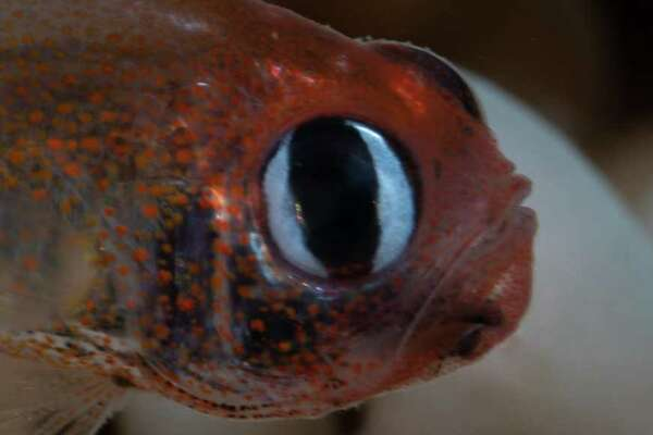 Cardinalfish (S. arnazae) - Scientific name: Siphamia arnazae A woman was scuba diving off of Papua New Guinea in December 2016 when she spotted Siphamia arnazae, leading scientists to return to the spot over the following years to collect specimens and classify it as a new species. The discovery has furthered the importance of the Milne Bay Province in ecological research, confirming that the area is one of the richest across the globe in reef fish diversity-currently home to at least 1,284 species and counting. You may also like: 50 endangered species that only live in the Amazon rainforest This slideshow was first published on theStacker.com