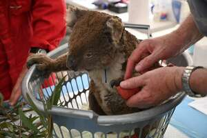 An injured Koala is looked at by a vet after it was treated for burns at a makeshift field hospital at the Kangaroo Island Wildlife Park on Kangaroo Island on January 14, 2020. - Hundreds of koalas have been rescued and brought to the park for treatment after bushfires ravaged the island off the south coast of Australia. (Photo by PETER PARKS / AFP) (Photo by PETER PARKS/AFP via Getty Images)
